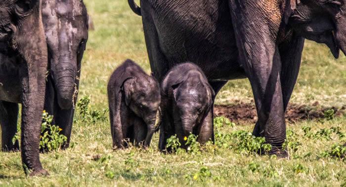 斯里兰卡米内日亚保护区发现罕见大象双胞胎
