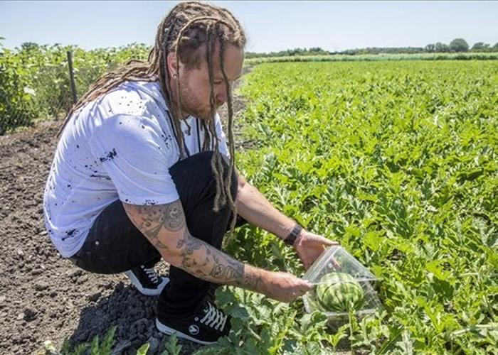 匈牙利农夫Robert Pap试种方形西瓜终有成 造形如骰子别具一格