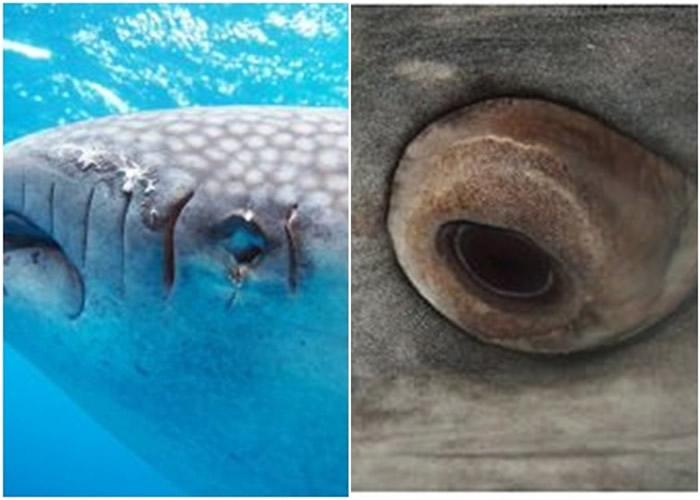 鲸鲨可将一半眼球缩入眼窝。