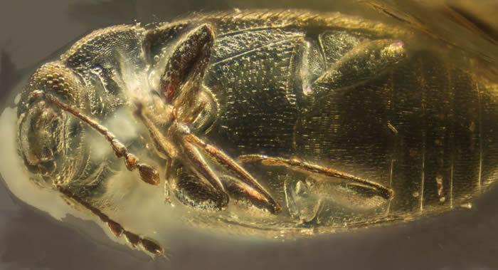 俄罗斯科学家在乌克兰一块罗夫诺琥珀中发现3900万年前的Telmatophilus隐食甲