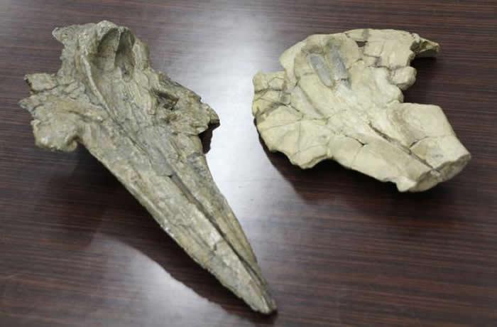 世界上最古老的海豚:日本群马县自然史博物馆海豚科头骨化石可追溯至1130万年前