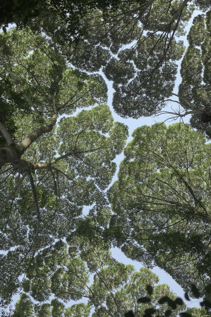 马来西亚森林研究所(Forest Research Institute Malaysia)的龙脑香树林展现出「树冠羞避」的现象,也就是一些树种的树冠间会出现一些