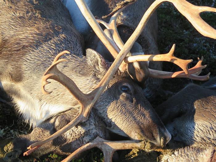 科学家们在海拔1220米的哈当厄尔高原上设置自动摄影机,观察野生动物涌向这些高原上的尸体。 照片来源:Havard Kjontvedt/挪威自然检查局