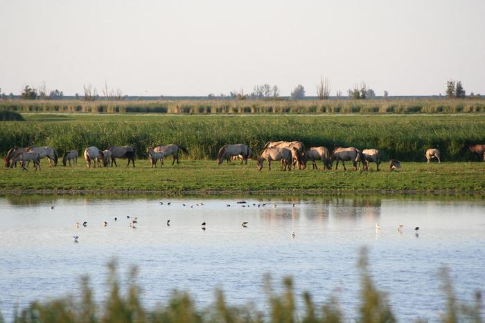 荷兰阿姆斯特丹东部的阿尔梅勒保护区(Oostvaardersplassen)。 照片来源:维基百科(CC BY-SA 3.0)