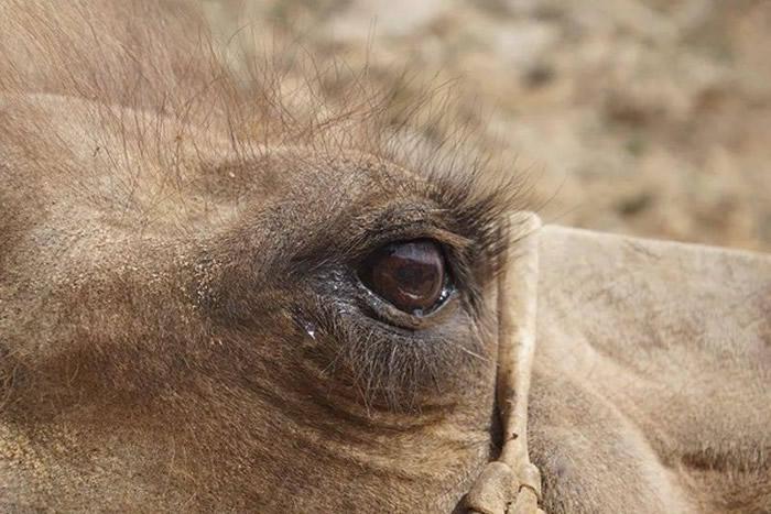 内蒙古巴彦淖尔市老骆驼被卖跋涉100公里全身伤回家 主人感动买回:再也不卖