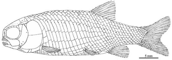 小巧漏卧鱼复原图 (徐光辉 供图)