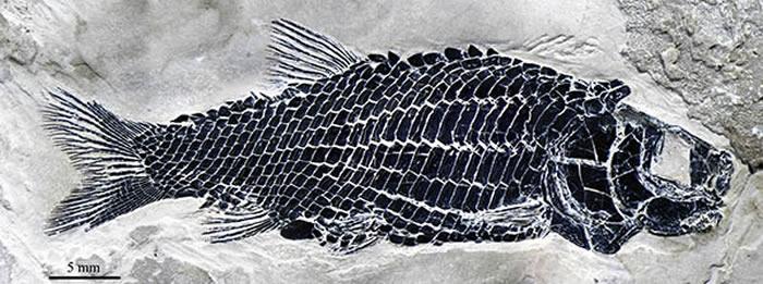 小巧漏卧鱼正型标本(徐光辉 供图)