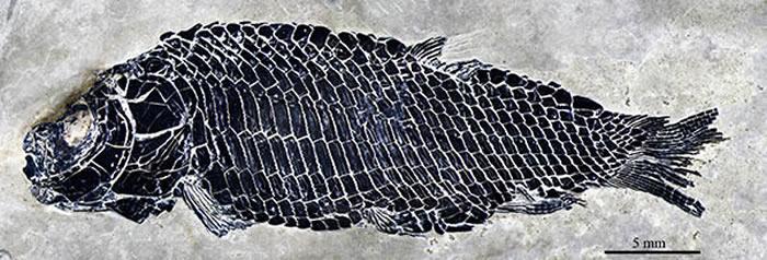 小巧漏卧鱼较完整标本(徐光辉 供图)
