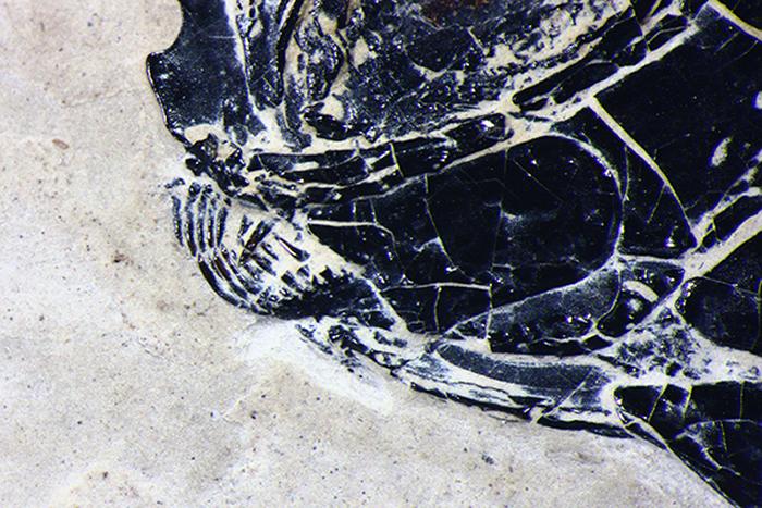 小巧漏卧鱼上下颌放大图(徐光辉 供图)