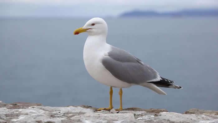 英国普利茅斯男子的麦当劳被叼走 他狠咬海鸥遭警察逮捕