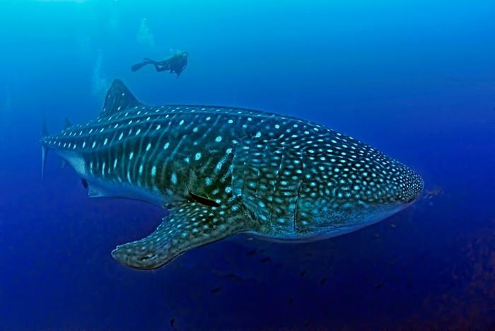 鲸鲨是海洋中最大的鱼类。 照片来源:加拉巴哥鲸鲨计划脸书
