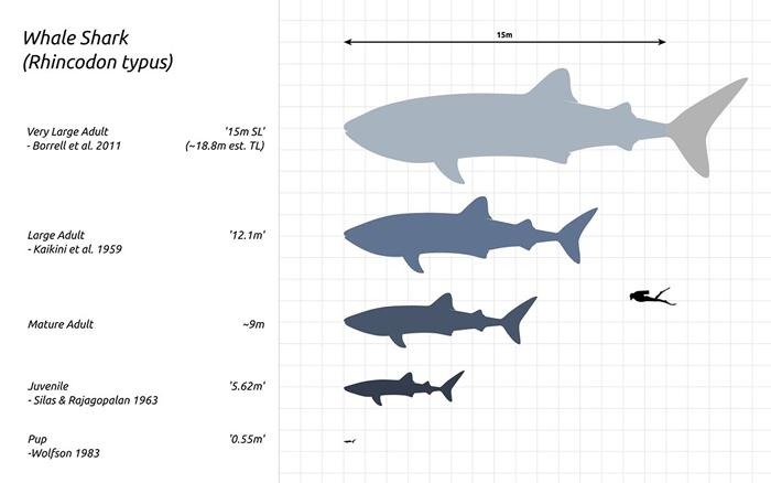 鲸鲨可由数十公分长到十数公尺。 照片来源:维基百科/Steveoc 86 (CC BY-SA 4.0)