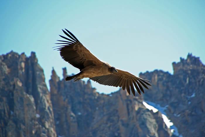 英国斯旺西大学研究人员发现一只安第斯秃鹰在没有扇动翅膀的情况下飞翔了100英里