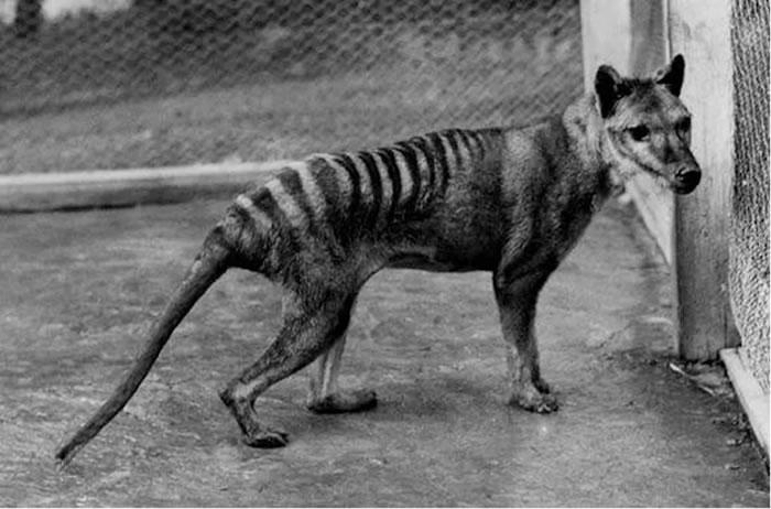 犬科动物和塔斯马尼亚虎