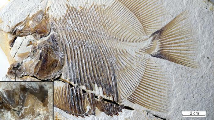 食人鱼和Piranhamesodon pinnatomus