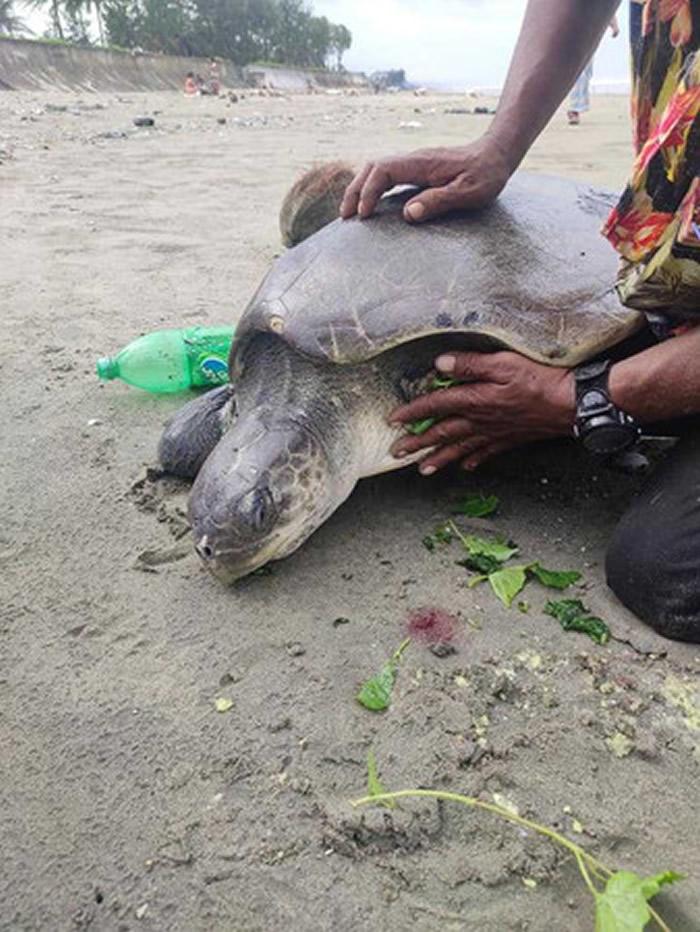 孟加拉国160只榄蠵龟被海浪冲上沙滩 身上被塑胶垃圾缠住头都不见了