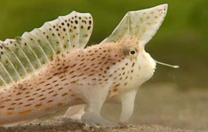 光滑手鱼sympterichthys unipennis被认为是有记录以来第一种完全灭绝的现代海洋鱼类
