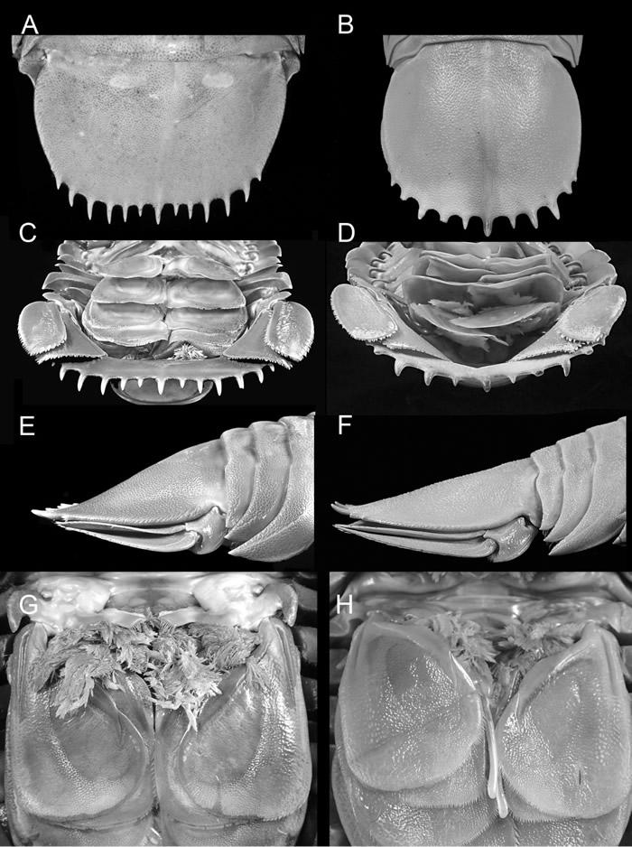 """印度尼西亚西爪哇岛附近沿海发现新物种""""海蟑螂""""Bathynomus raksasa"""