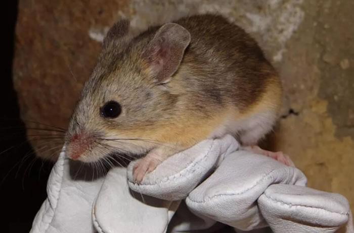 智利尤耶亚科火山山顶发现黄背叶耳鼠 打破哺乳动物栖息地海拔的世界纪录