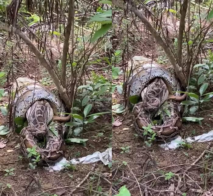 香港网友爬山时意外撞见树林间超大蟒蛇正在吞食山羌(黄麖)