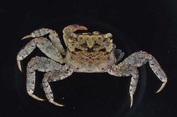 宽腹针肢蟹(Bresedium eurypleon),因其第6腹节比近缘种短足针肢蟹(B. brevipes)宽大而得名。 图片来源:垦管处