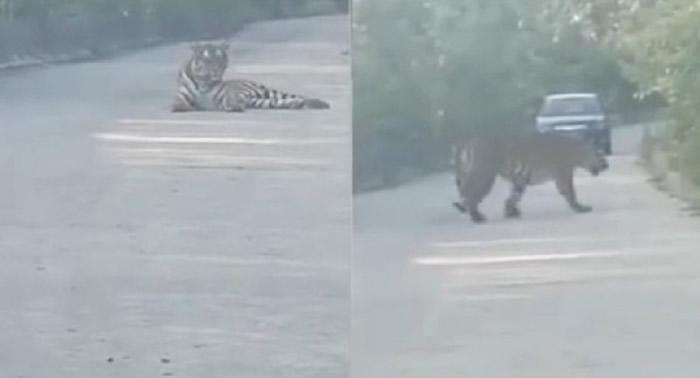 吉林省珲春市计程车司机马路上撞见野生老虎 对看20分钟