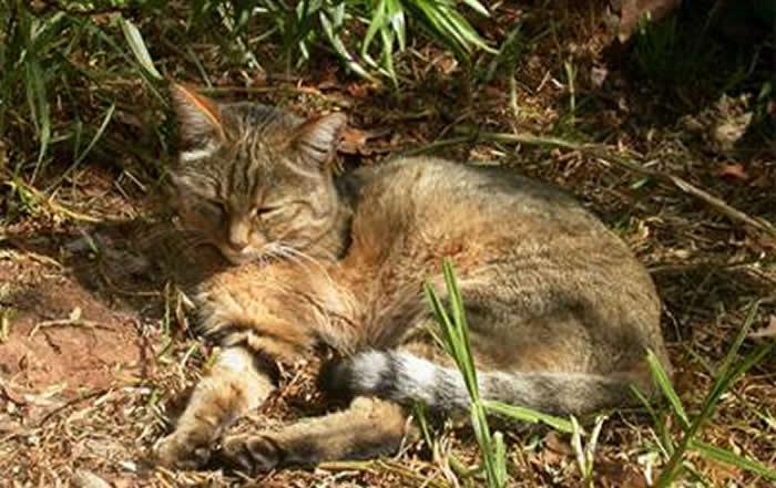 欧洲发现有7000年历史的家猫祖先——近东野猫遗骸 为猫的演化故事再添波折