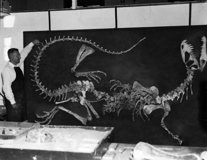 1950年代早期,沃恩. 兰斯顿(Wann Langston, Jr.)于加州大学柏克莱分校督导第一副双脊龙骨骸的重建工作。 TEXAS VERTEBRATE