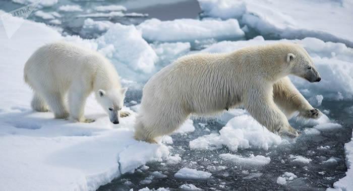《自然·气候变化》杂志:到2100年北极熊可能几近灭绝