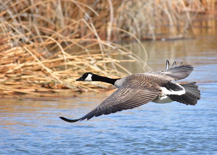 加拿大雁通过引入来到西欧,并威胁了当地的生物多样性。 照片来源:Tom Koerner/USFWS(CC BY 2.0)