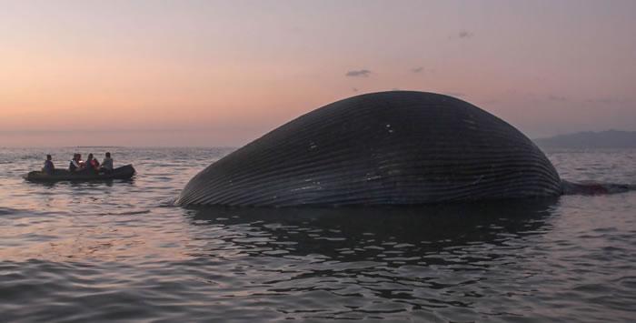 23米长蓝鲸在印度尼西亚的海滩附近被冲上岸