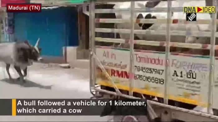 印度牧场母牛被卖 一起生活的公牛追赶货车1公里