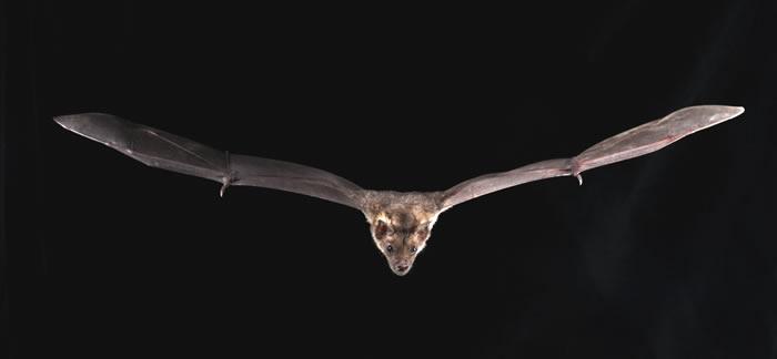 基因组测序显示蝙蝠在6500万年里是如何战胜病毒的