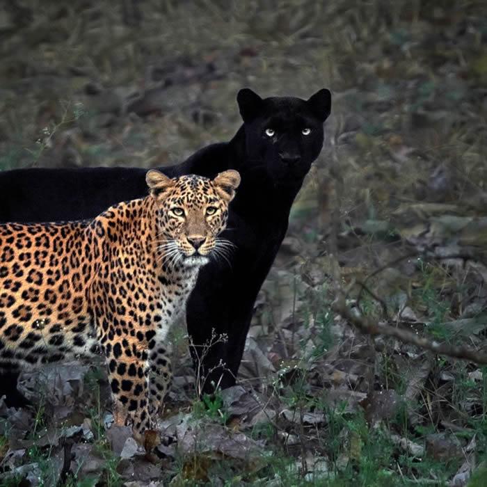 印度摄影师Mithun H到卡纳塔卡邦蹲点6天终于拍摄到黑豹情侣