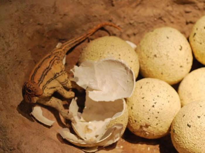 图为蜥脚类恐龙幼崽从蛋中爬出来的模样,摄于美国自然历史博物馆。该博物馆拥有全球最大的恐龙展。