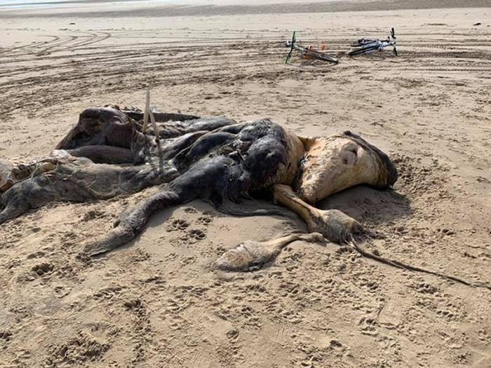 英国默西塞德郡海滩海浪冲上来一具不明动物尸体
