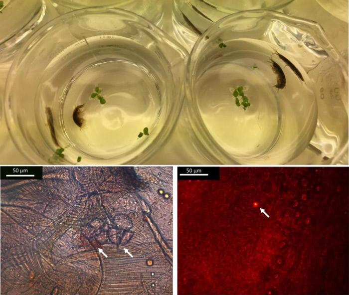 """爱尔兰淡水溪流中的甲壳类动物Gammarus duebeni能在4天内将微塑料转变成""""纳米塑料"""""""