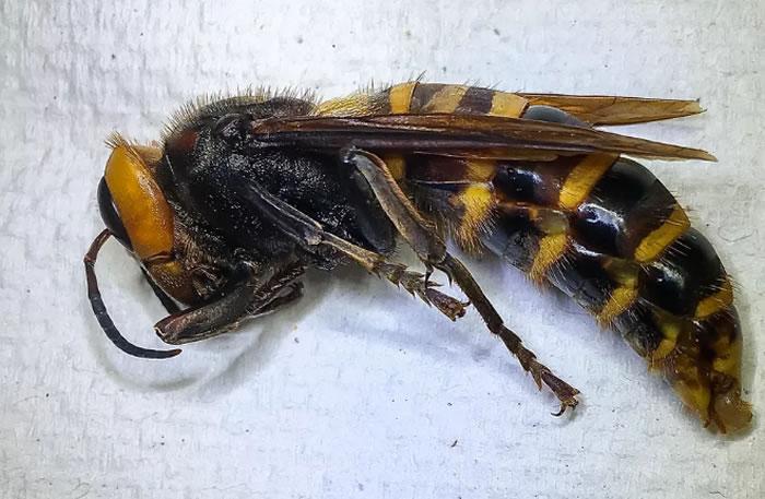 """美国华盛顿州农业部工作人员第一次通过陷阱捕获""""杀人大黄蜂"""""""