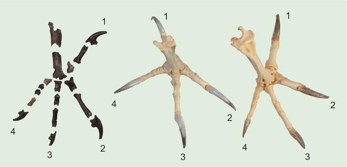 6000万年前化石研究发现古老猫头鹰的脚爪与现代猫头鹰完全不同