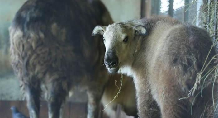 俄罗斯莫斯科动物园稀有物种繁殖中心诞生一头雌性四川羚牛