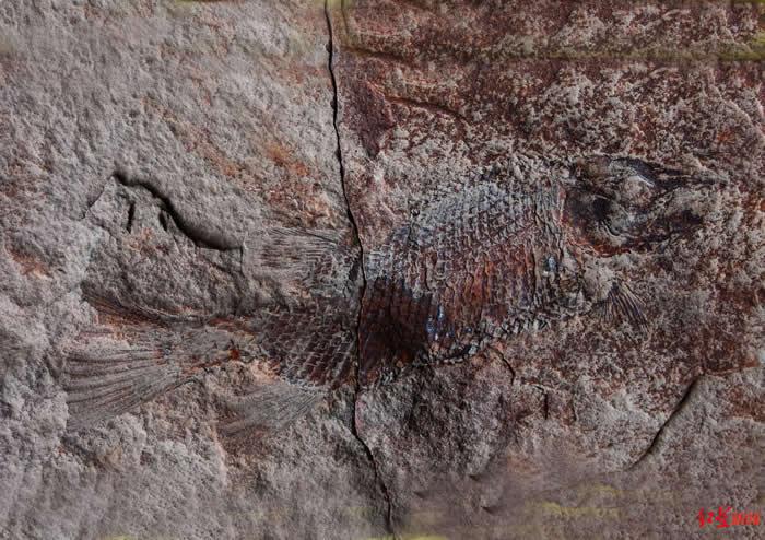 四川省丹棱县幸福古村发现疑似恐龙时代的鳞齿鱼化石