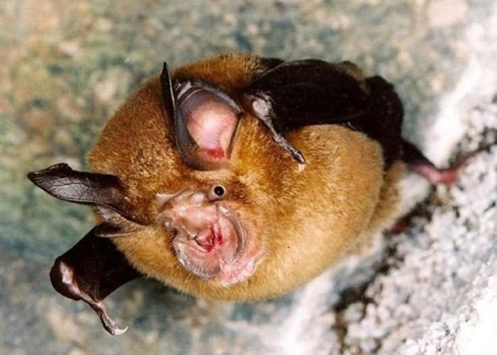 研究指新冠病毒最有可能是源自菊头蝠