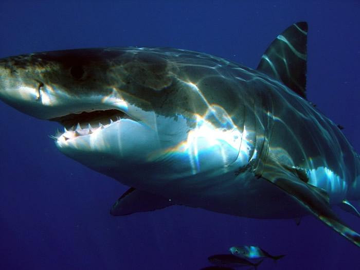 美国缅因州首宗鲨鱼杀人事件 纽约妇人遭大白鲨咬死