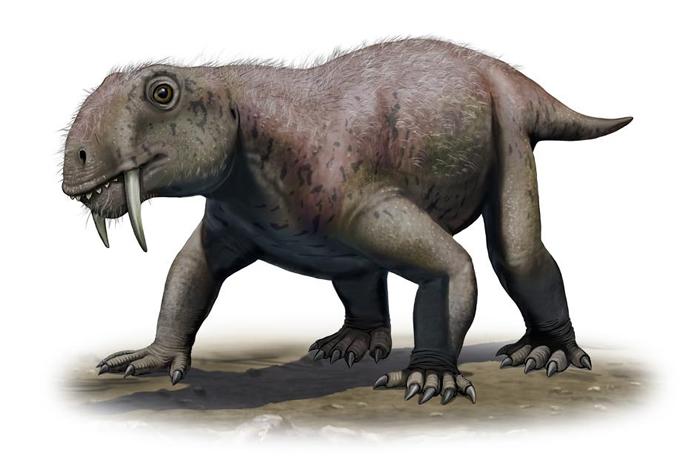插图描绘的是合弓类的Tiarajudens eccentricus ,它是已知最古老的剑齿动物,生活年代大约在2亿6000万年前。 ILLUSTRATION B