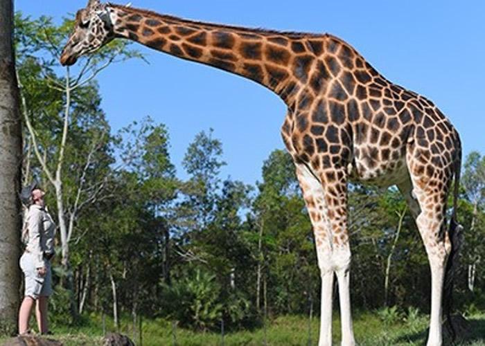 """澳洲昆士兰省贝尔瓦动物园12岁雄性长颈鹿荣登吉尼斯""""世界上最高的在世长颈鹿"""""""