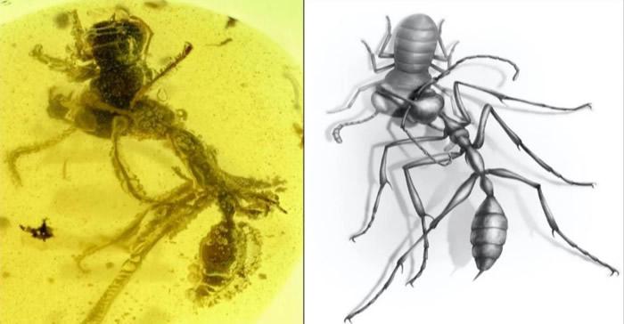 9900万年前的生死之战:白垩纪琥珀定格地狱蚂蚁捕食场景