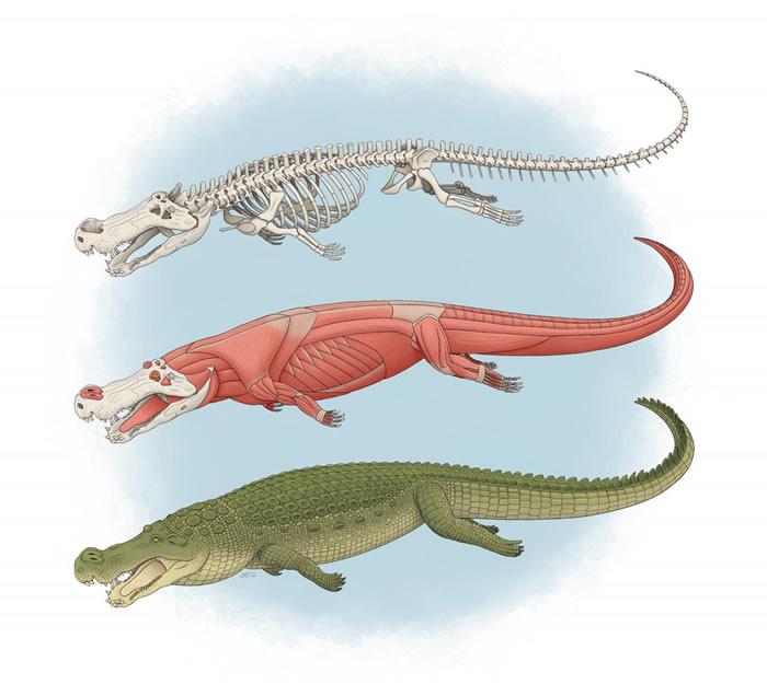 """7500万年到8200万年前""""恐怖的鳄鱼""""Deinosuchus有着香蕉大小的牙齿"""