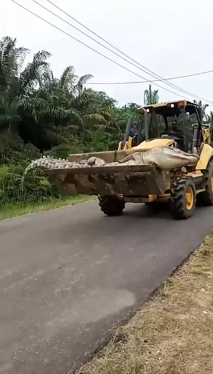 """印尼邦加物里洞省50几岁巨型鳄鱼被村民认为是""""恶魔的化身""""遭斩首肢解"""