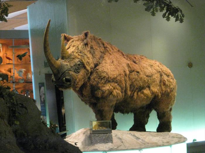 科学家研究发现气候变化导致了远古长毛犀的灭
