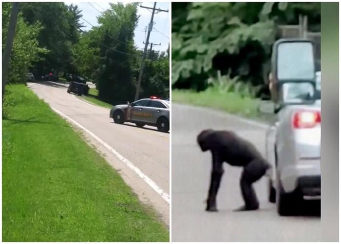 美国密苏里州杰斐逊县动物园2只黑猩猩逃出保护区在附近公路和住宅区到处游荡